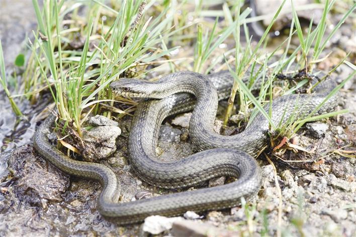 西藏溫泉蛇最高分布海拔可達4800米